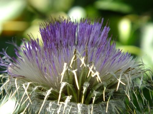 thistle purple